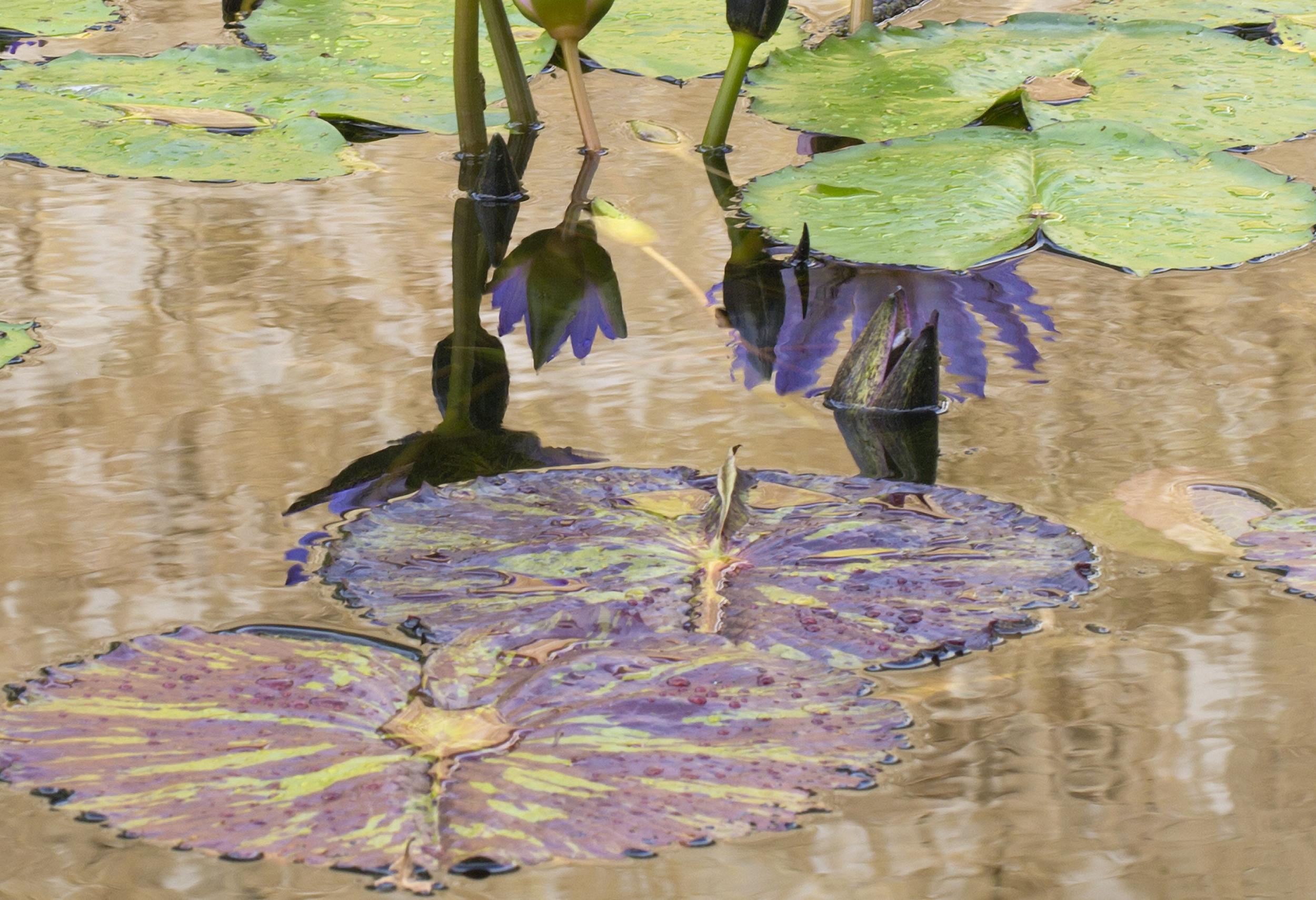 """Purple Petticoats (13""""X19"""");20X29.25; 10.3X15"""