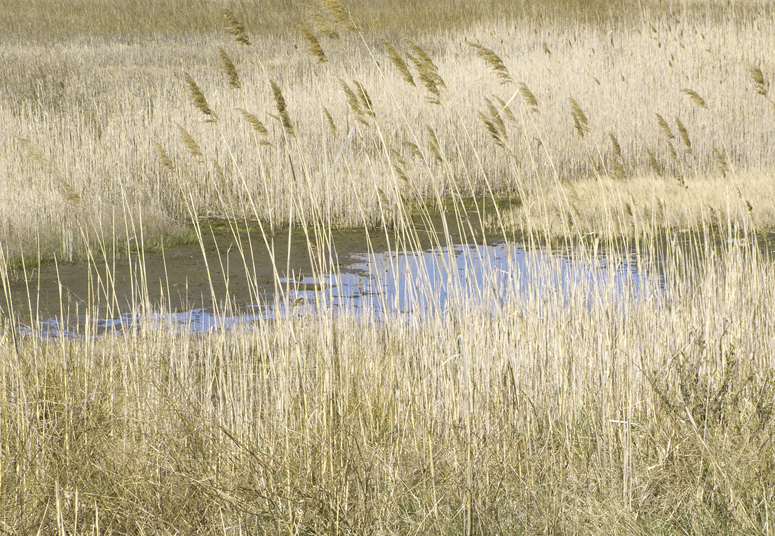 Pale Reeds