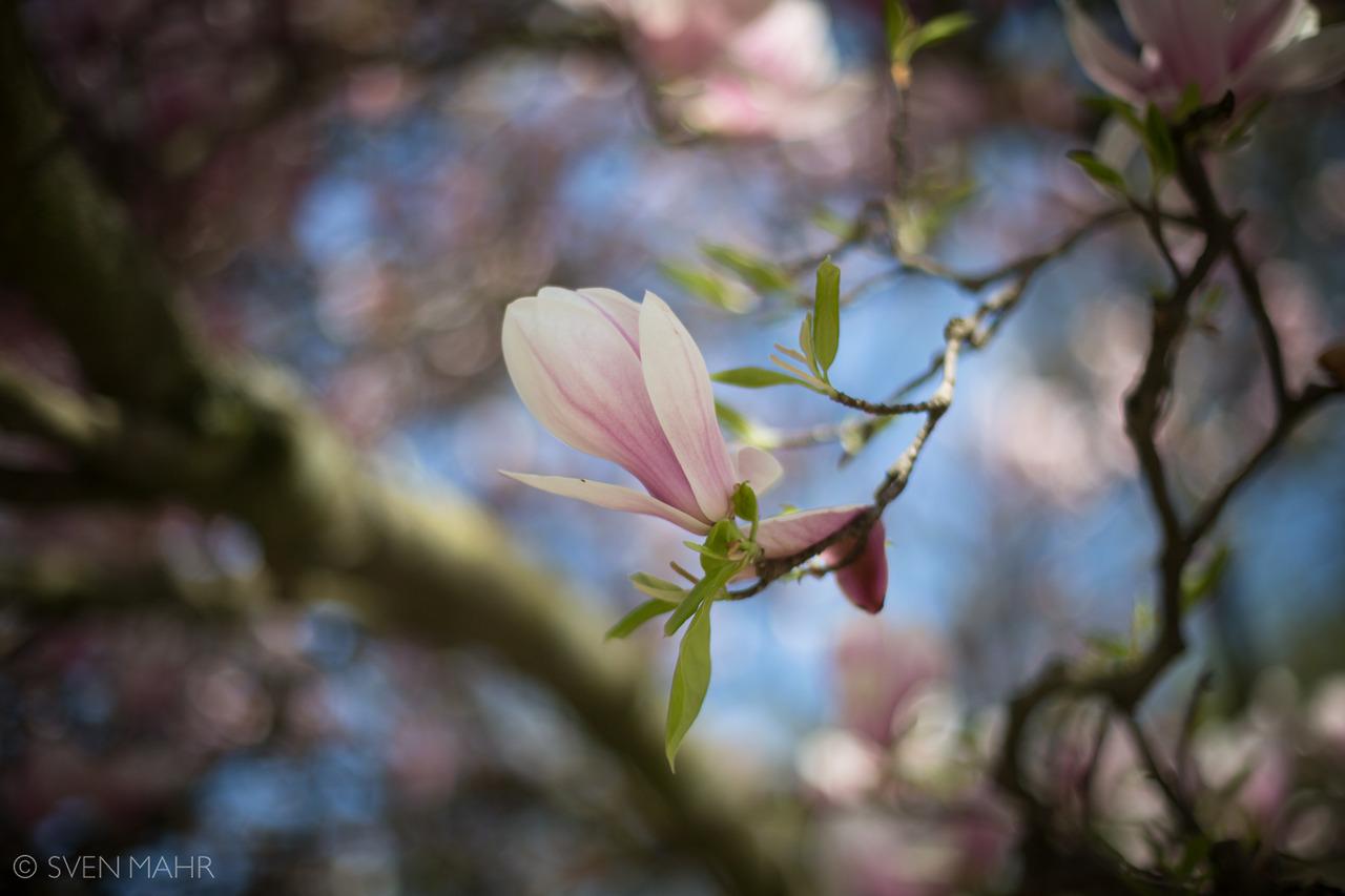 magnolia4.jpeg