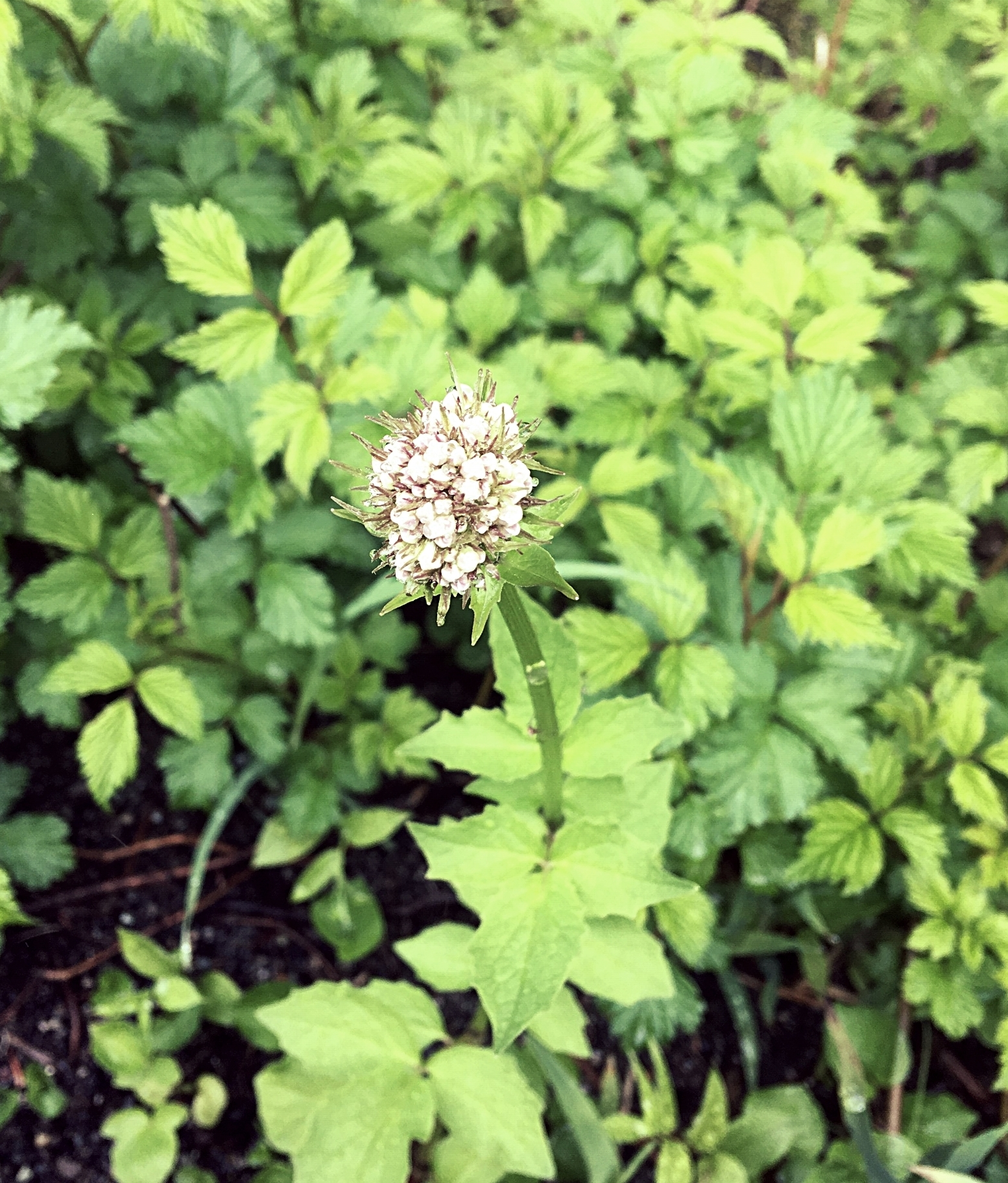 In full bloom, Sitka Valerian.