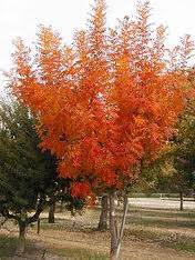 Look at that fall color!   Contact us   to get one planted!