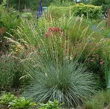blue-oat-grass-landscaping.jpg