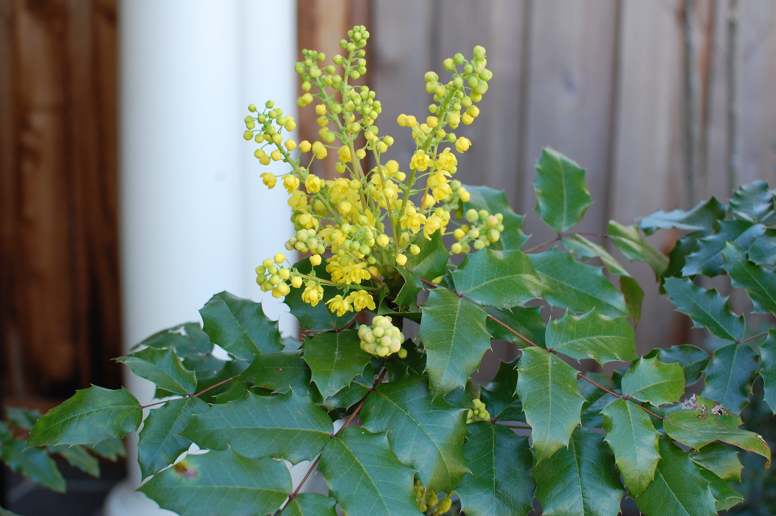 oregon-grape-flowers.JPG