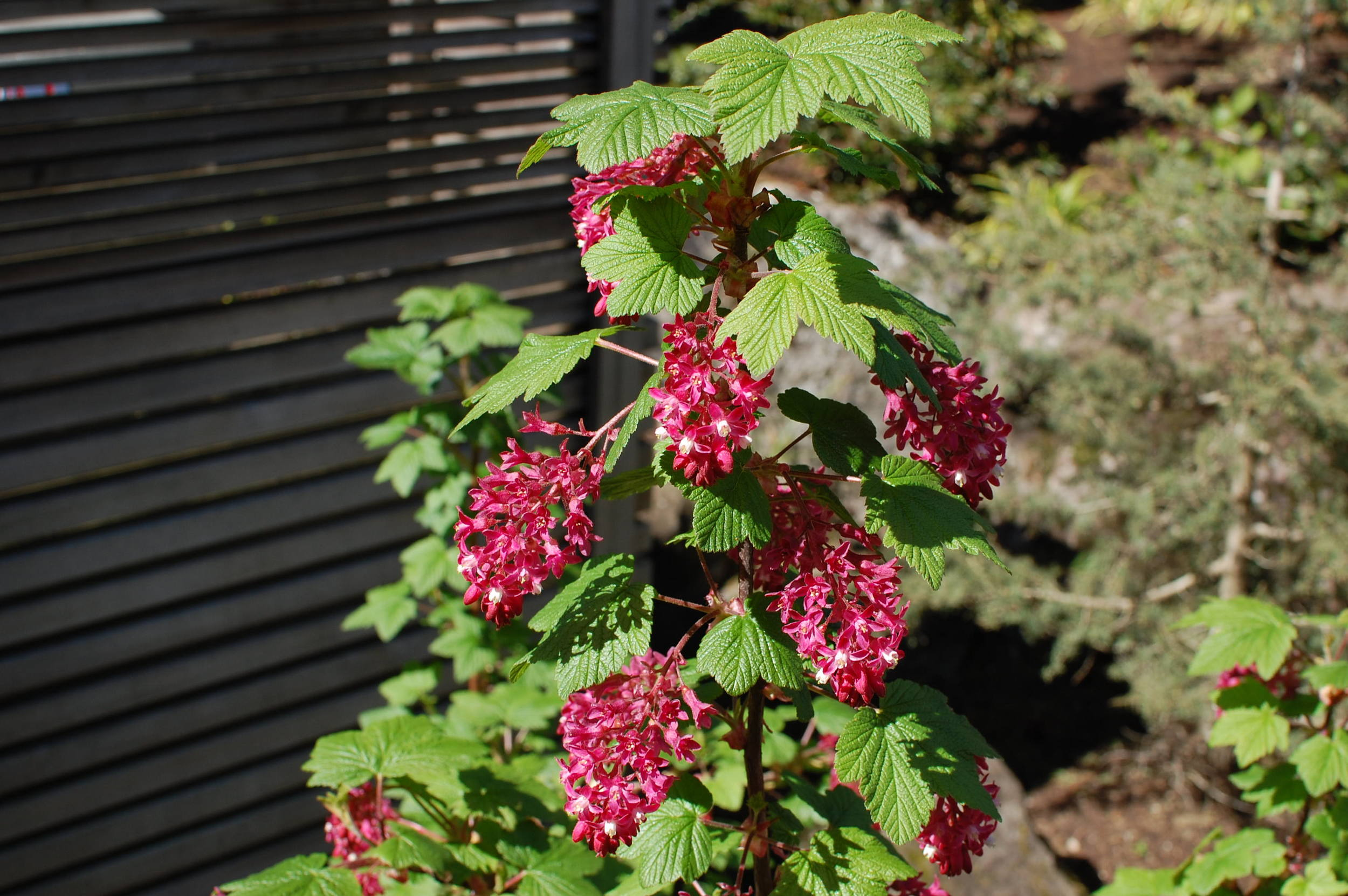 native-currant-flowers.JPG