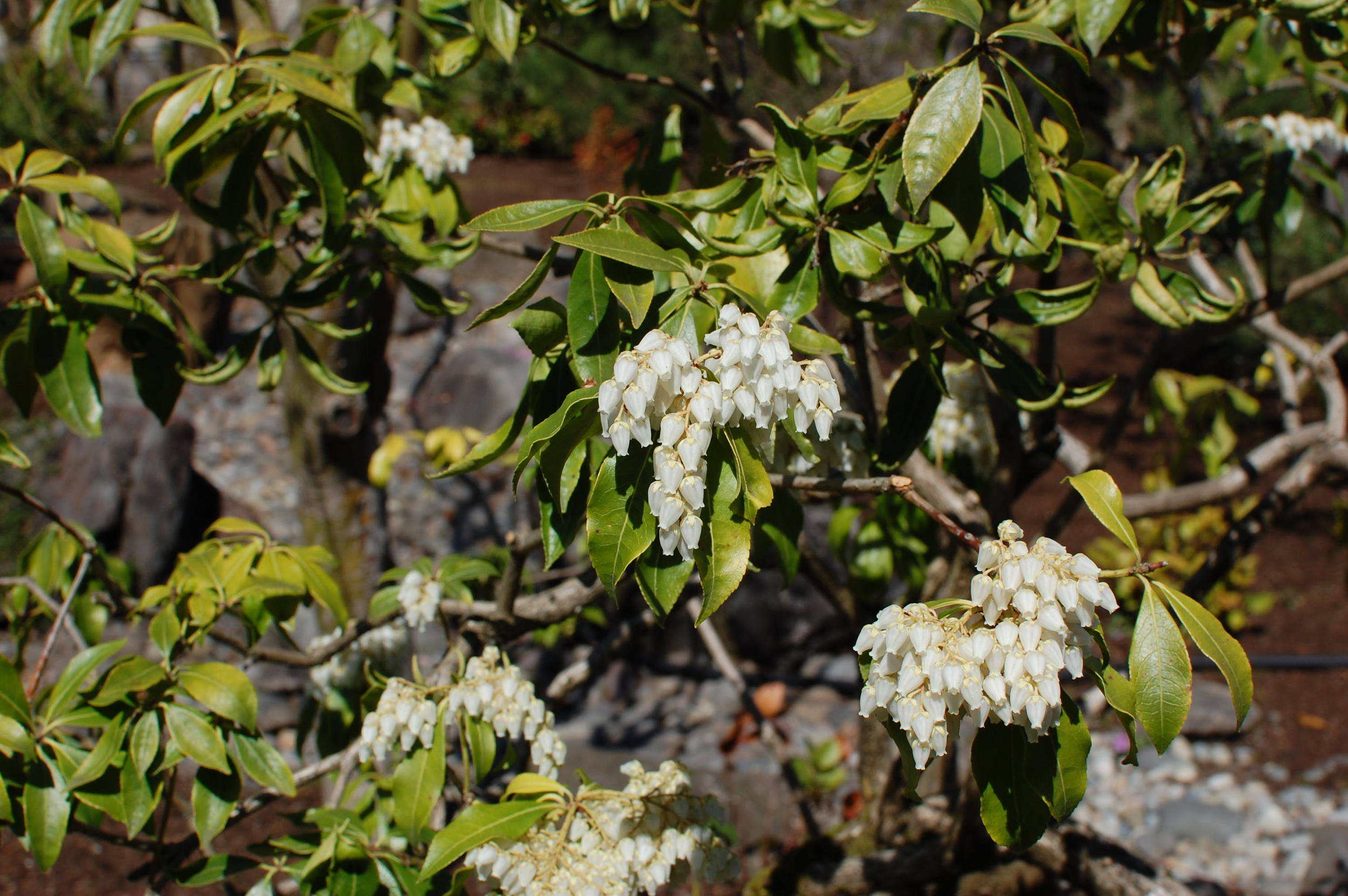 pieris-flowers-lake-oswego.JPG