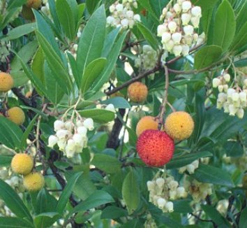 Dwarf Strawberry Tree