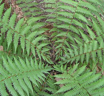 Wooly Tree Fern