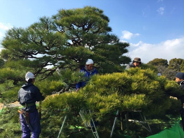 pruning-japanese-pine-trees.jpg