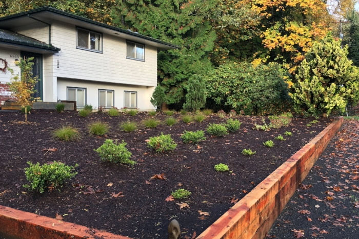 Juniper walls and mass plantings in a  West Linn front yard landscape.