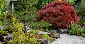 Japanese laceleaf maple. This tree was valued so highly that it was preserved when the home was demolished!