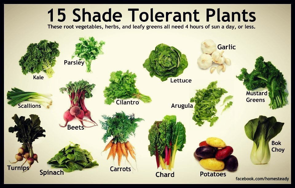 15 shade tolerant edible plants