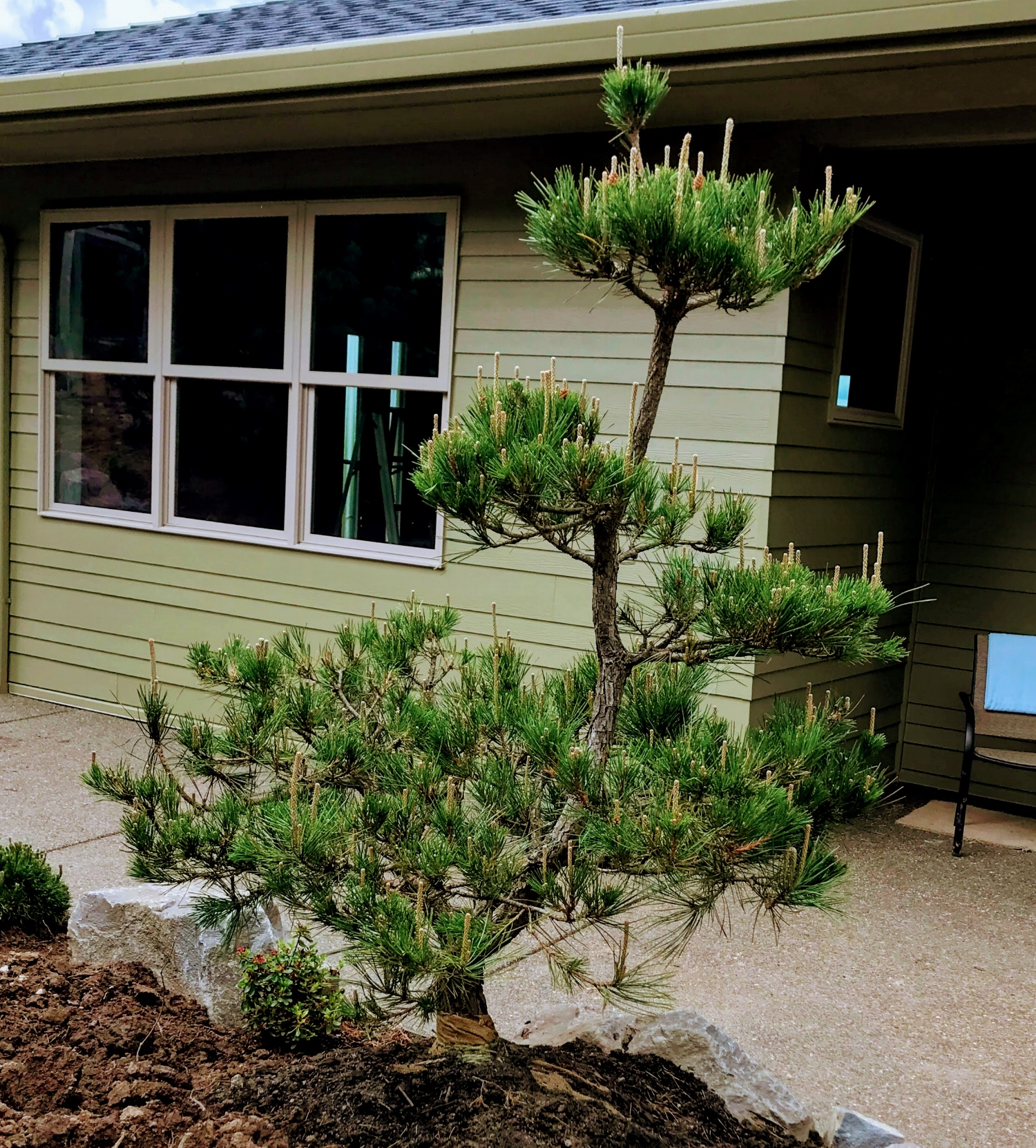 Japanese pine tree from Bentwood Tree Farm.
