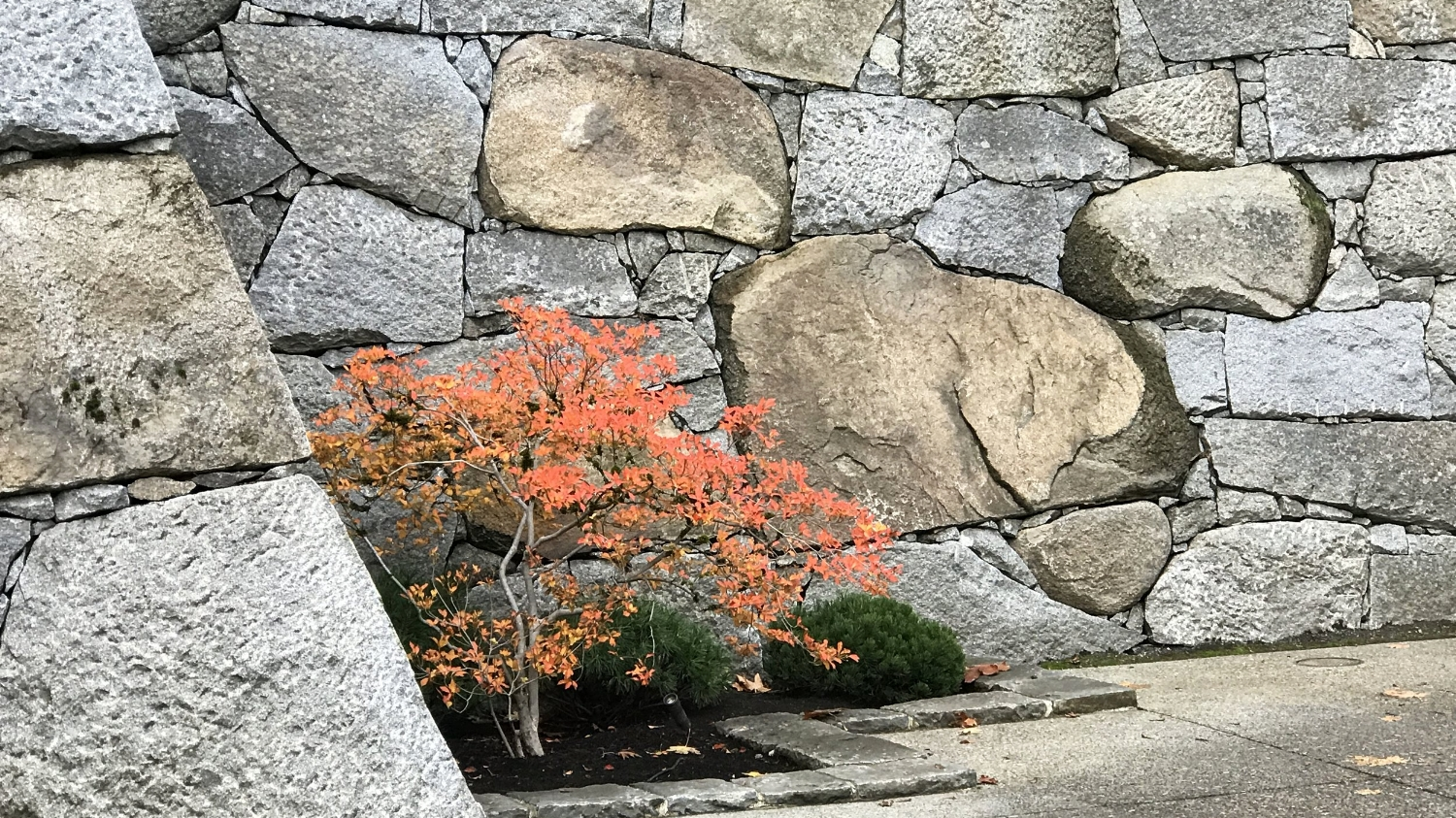 The Zagunis Castle Wall and a white enkianthus.