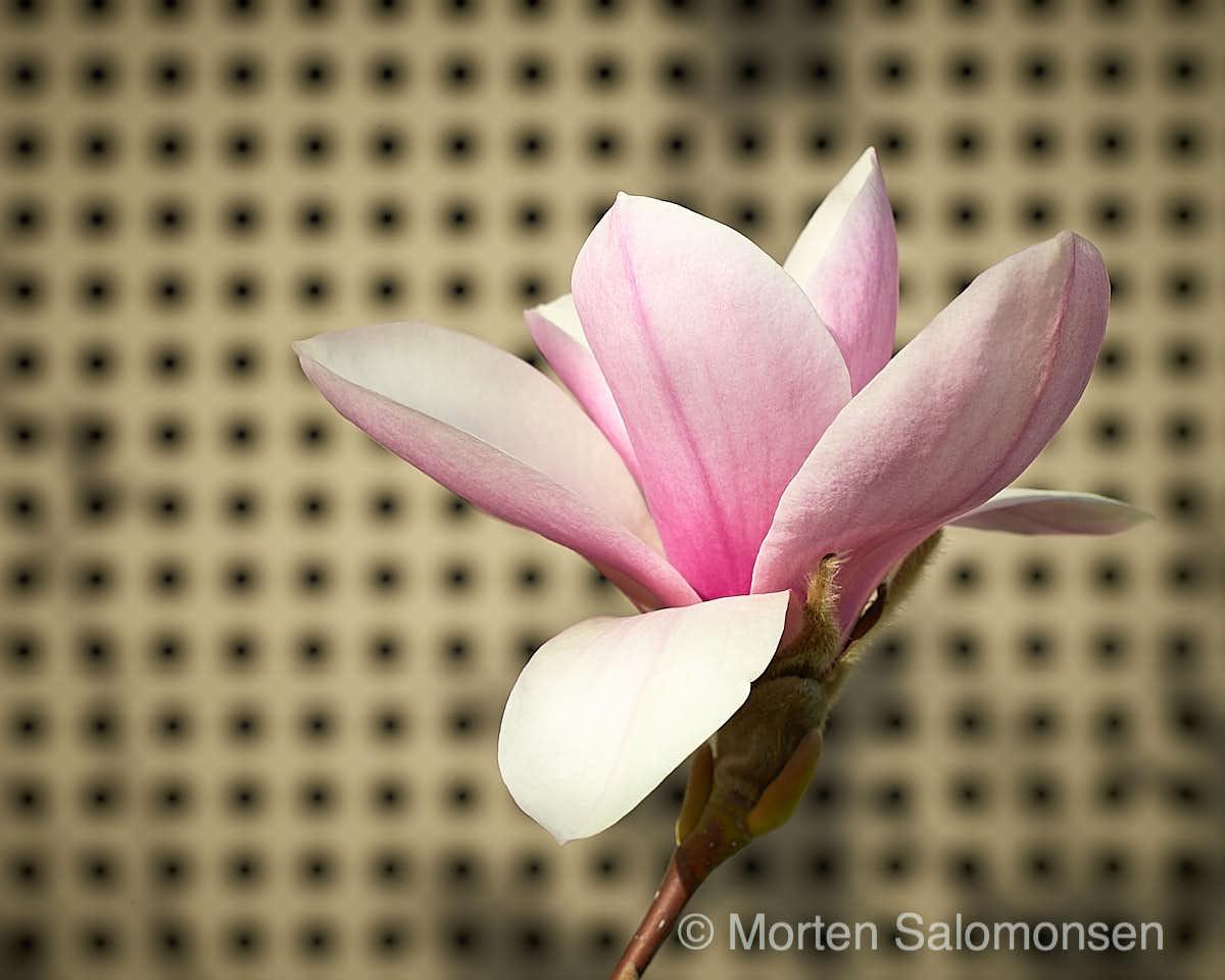 Magnolia - Summicron75, 1/360 @f/5,6