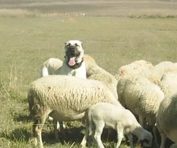 Working Boz Shepherd LGD in Turkey