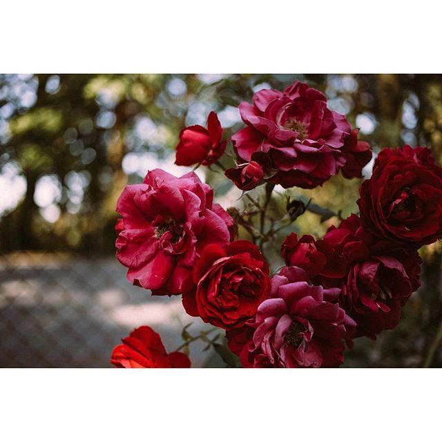 Roses for days 🌹