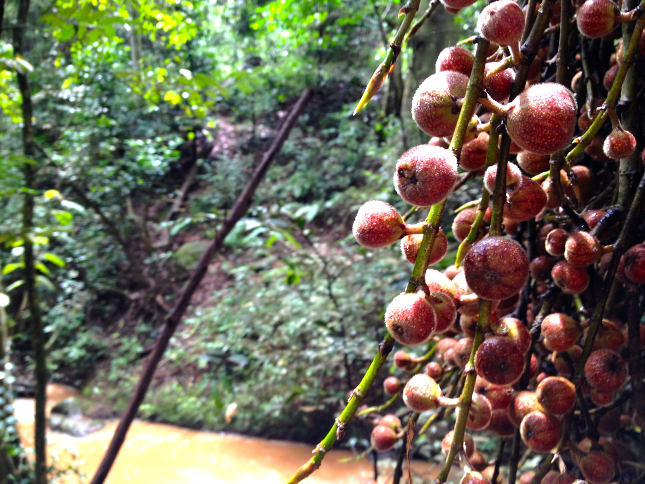 Broom Cluster Fig.