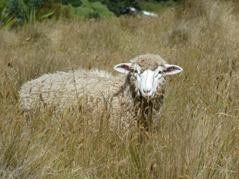 When Sheep Attack!