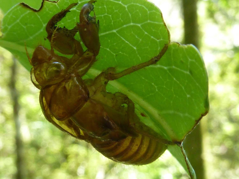Cicada Skin