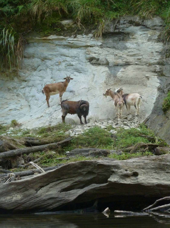 Goat Sighting