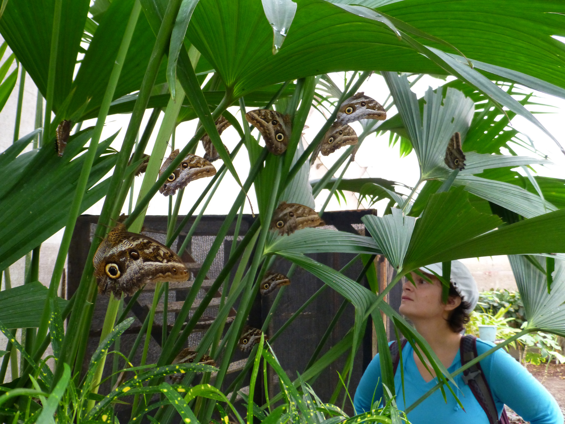 Owl's eye butterflies filling a tree in the Mariposario.