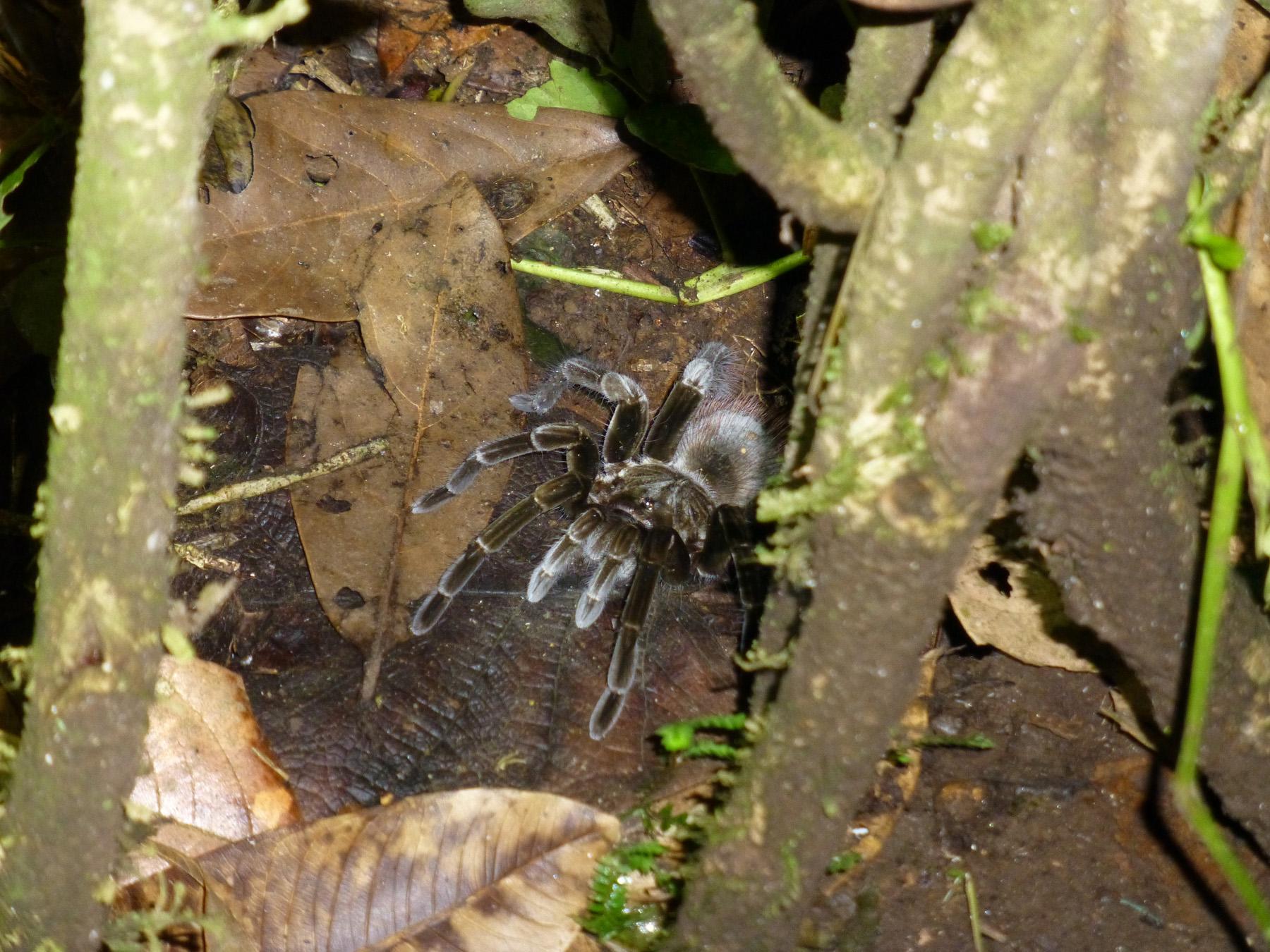 A tarantula hiding in the bush!