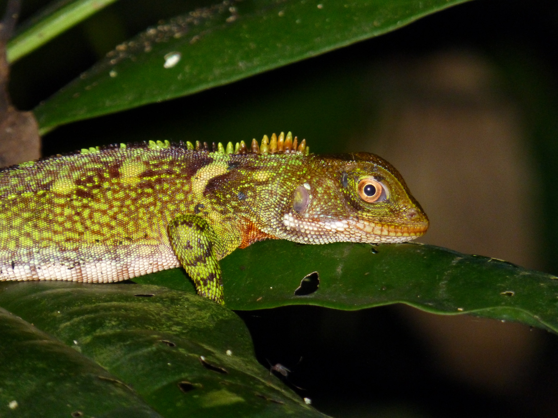 An iguanid. One of the many creatures found during our night time adventure.