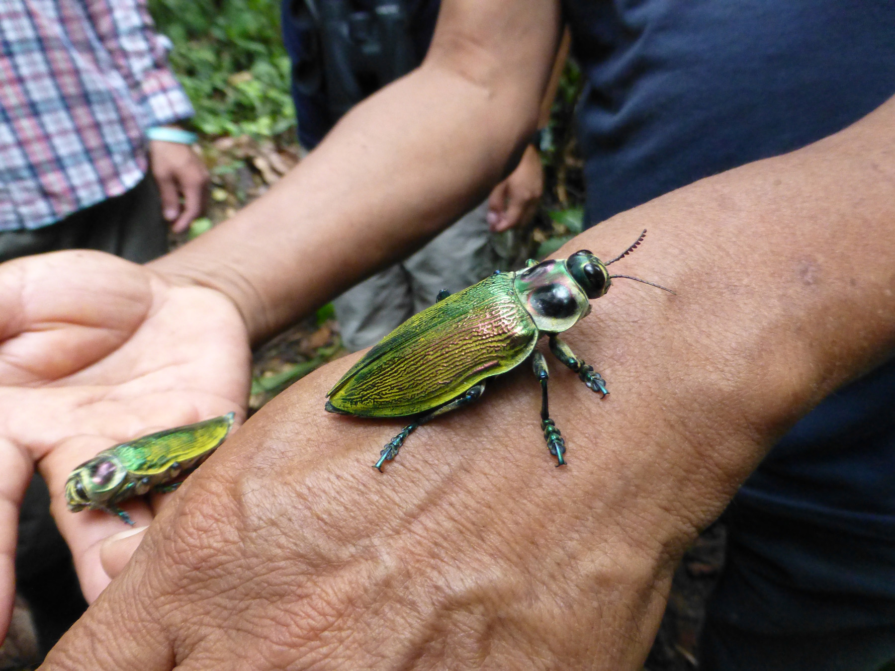 Iridescent Beetles