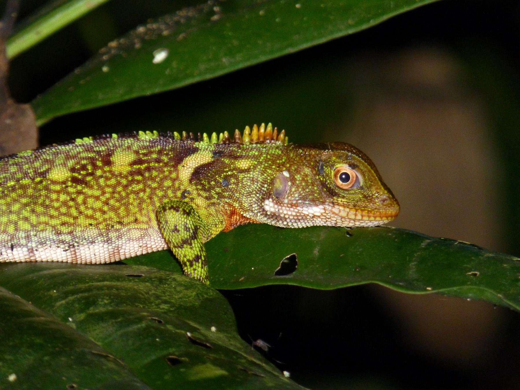 Iguanid