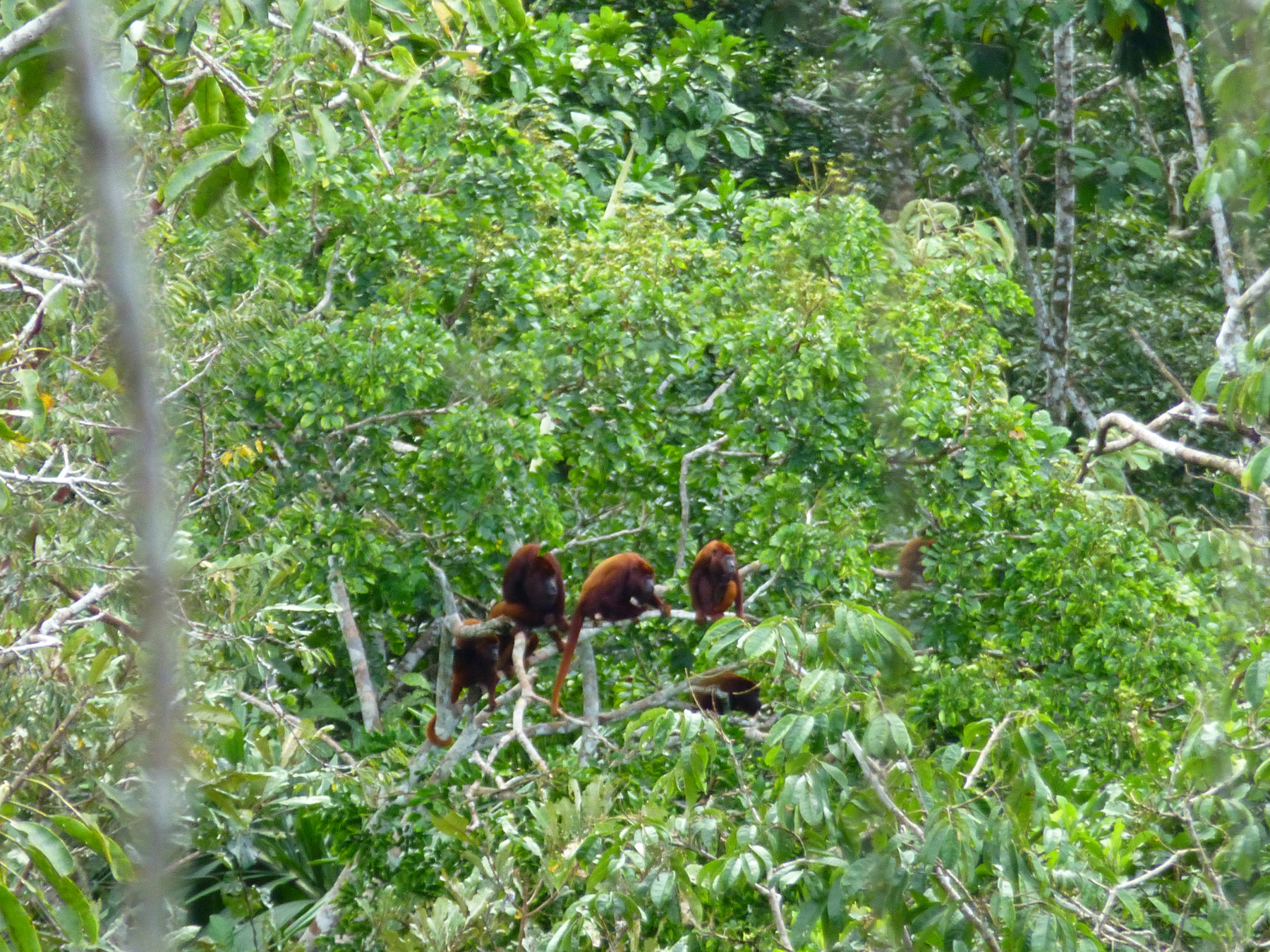 These red howler monkeys were roaring like a thunder storm. I'm so glad they stepped into sight, or we would've only heard them.
