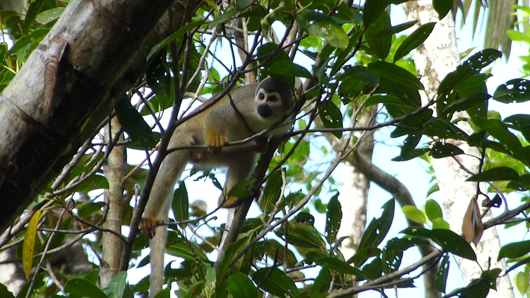 A Squirrel Monkey Appears