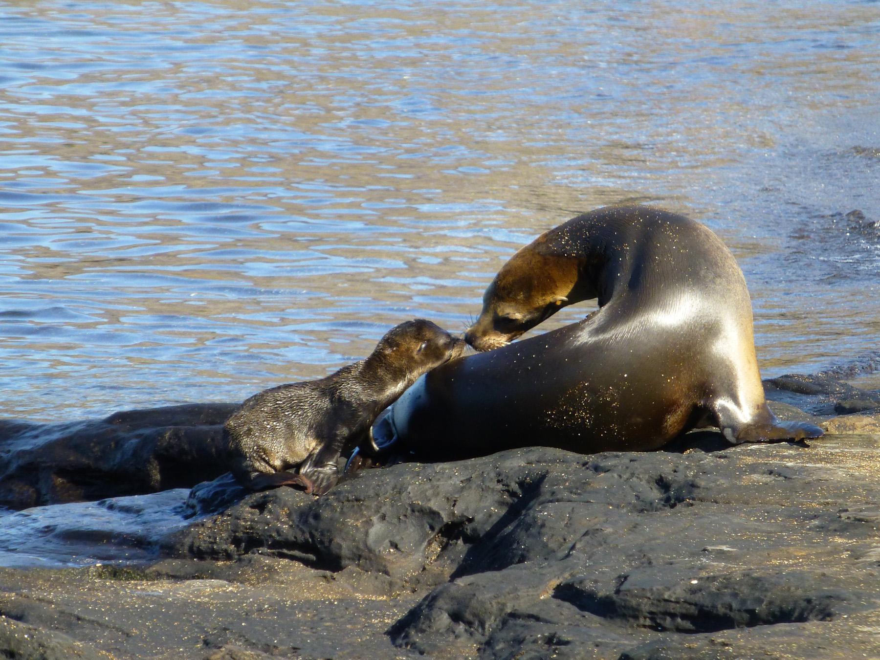 Mama Sea Lion And Her Cub