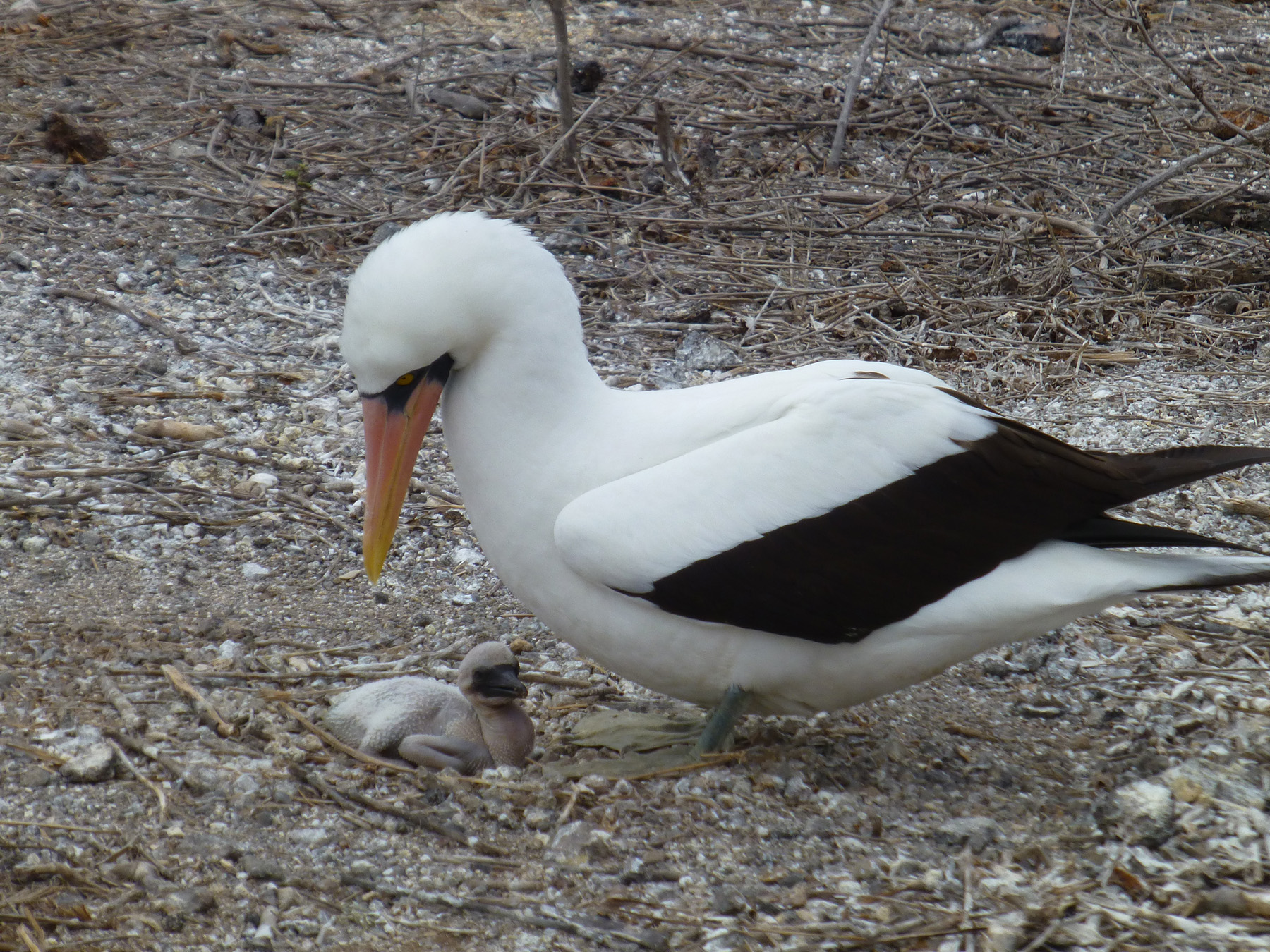 Nazca Booby And Hatchling