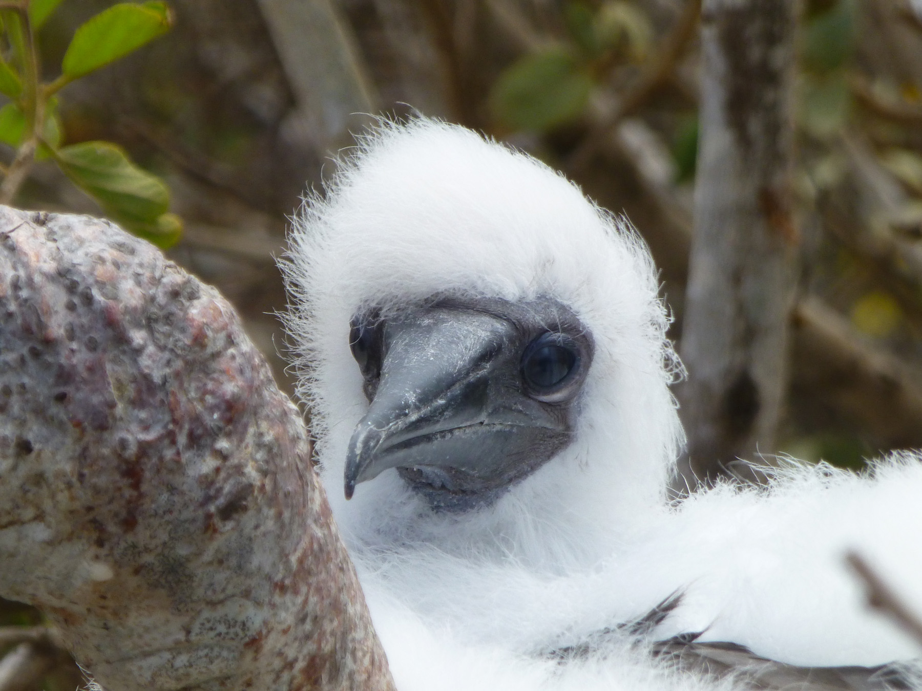 A Fledgling Red-footed Booby