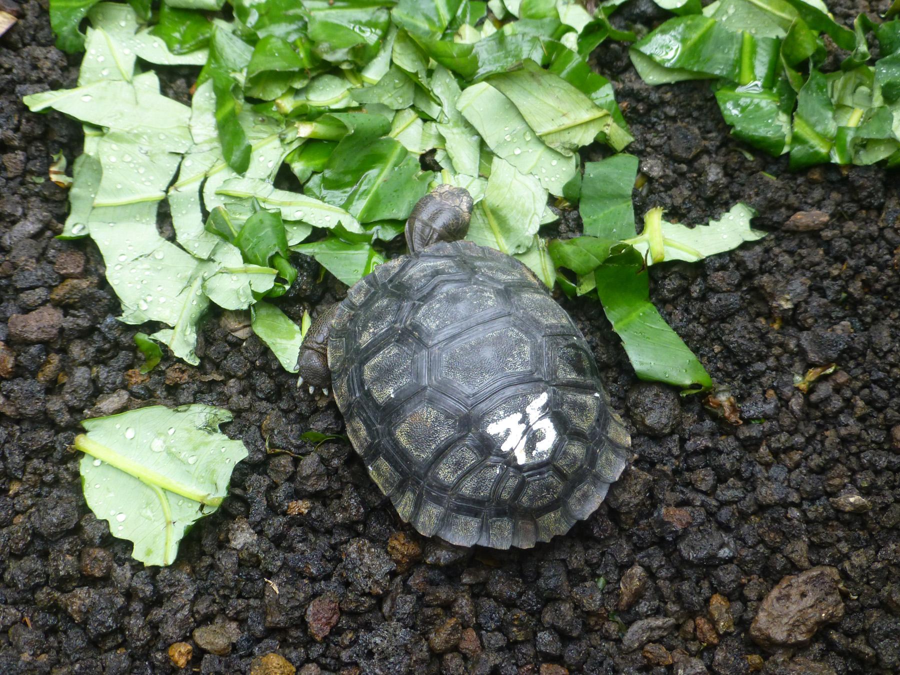 Baby Giant Tortoise!