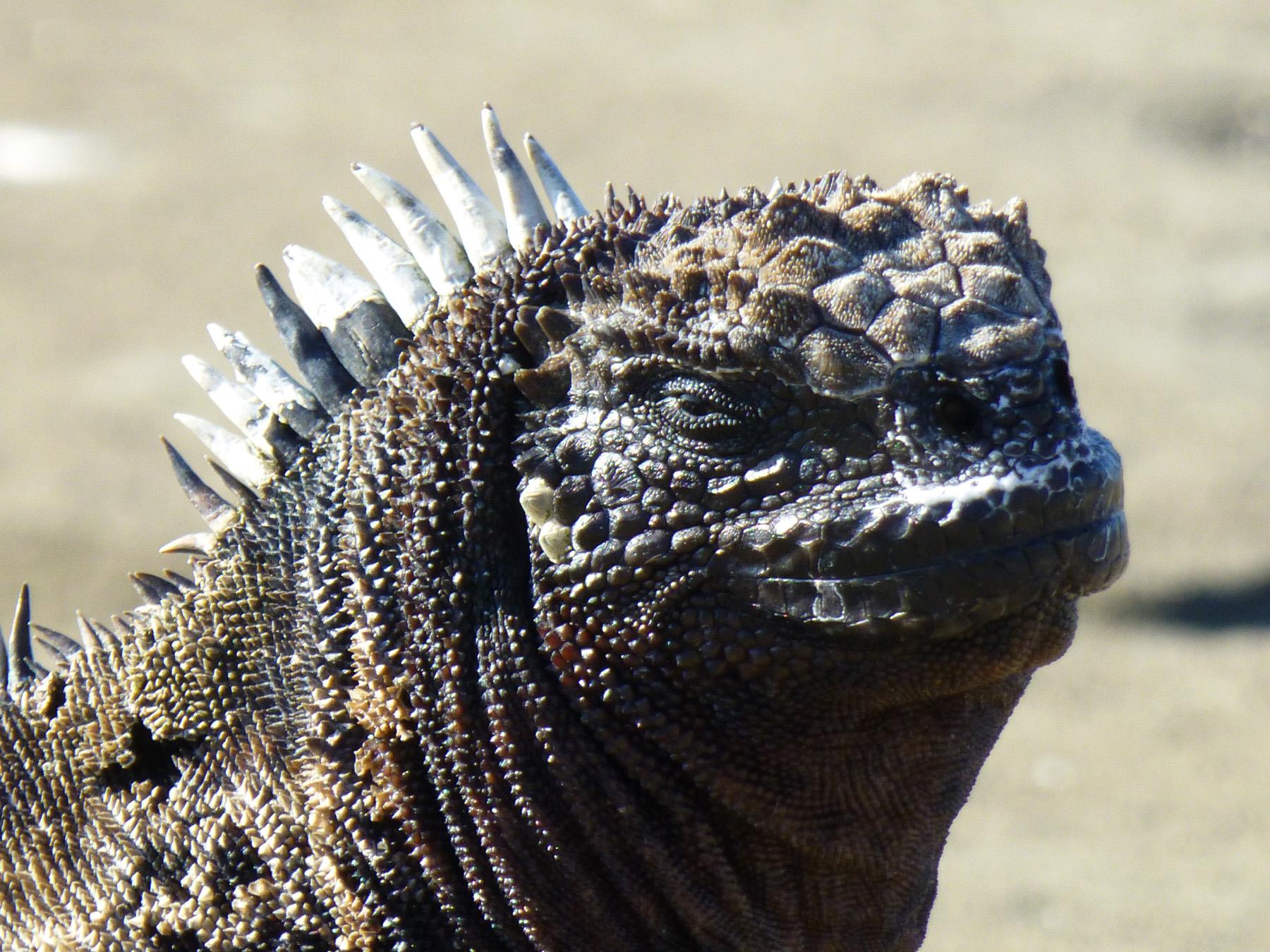 A marine iguana giving some attitude.
