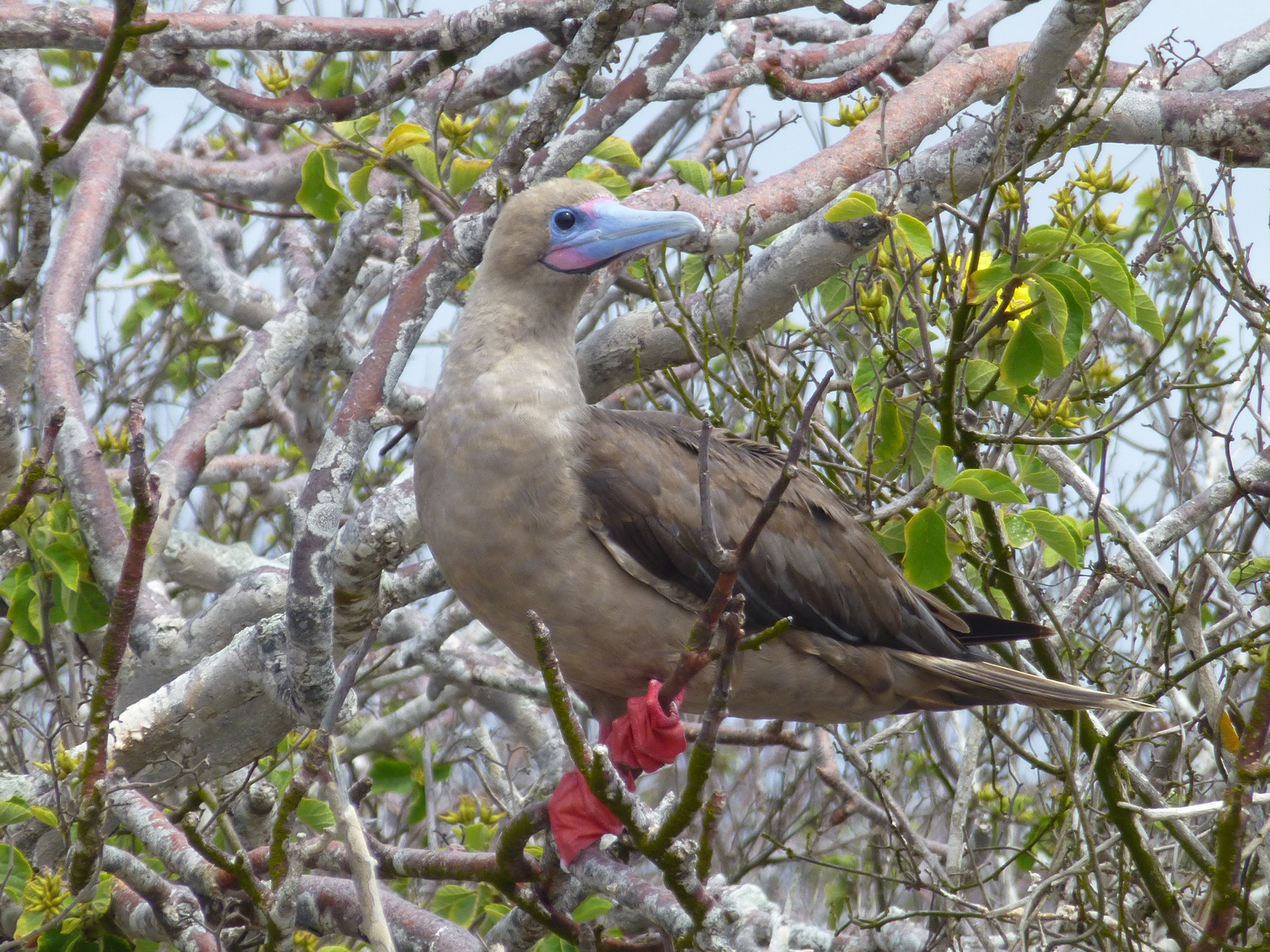 A red-footed booby on Genovesa Island.