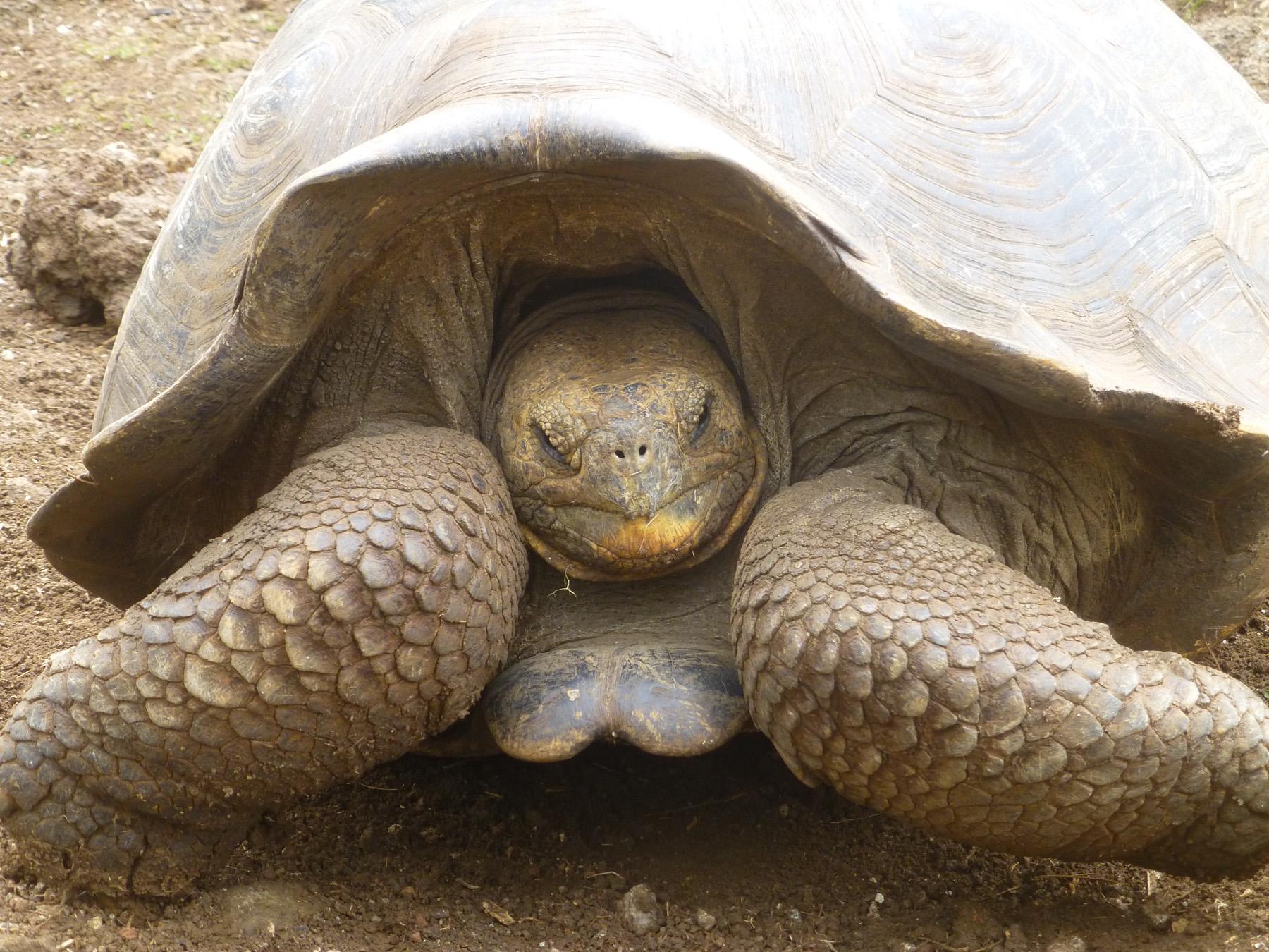 A giant tortoise at the tortoise sanctuary.