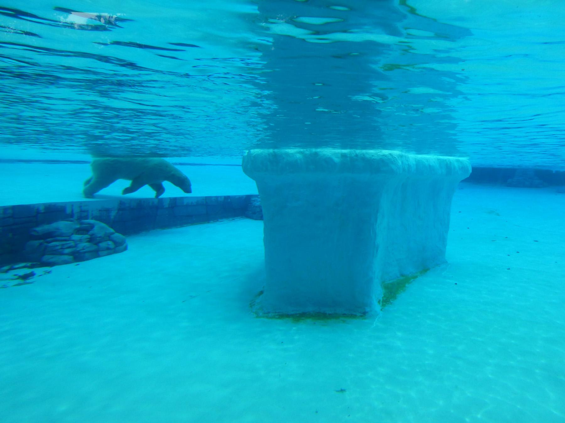 Polar Bear Cooling Off