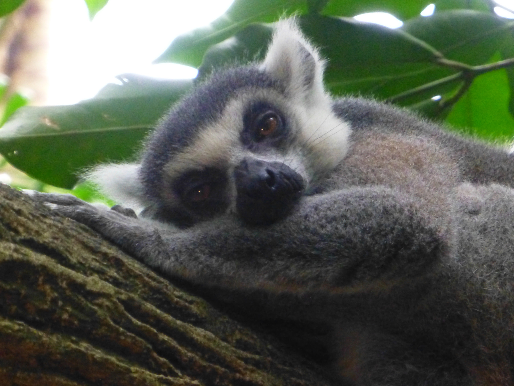 Lemur Napping