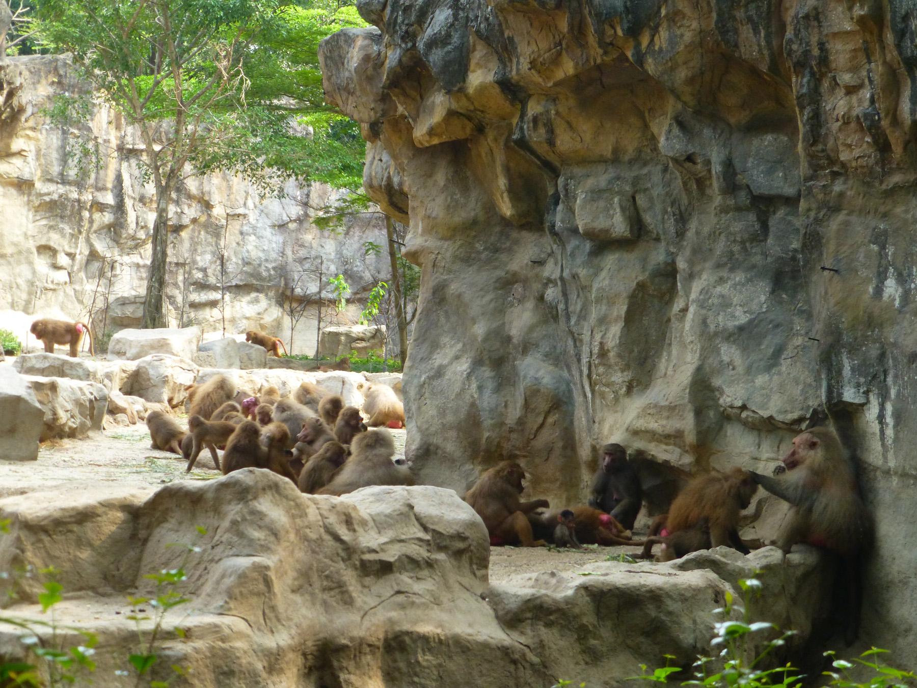 Baboon Colony