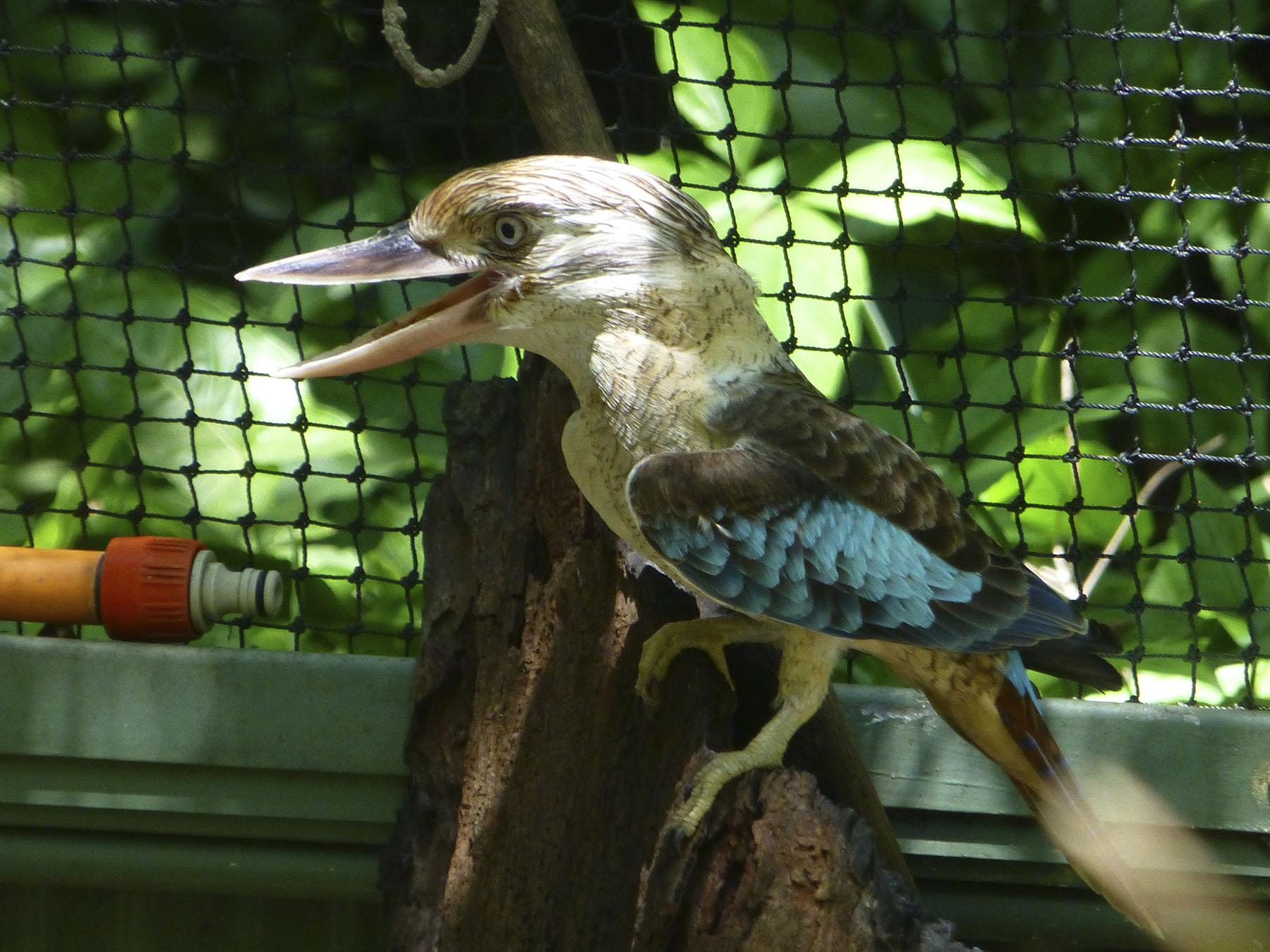 Kookaburra Up Close