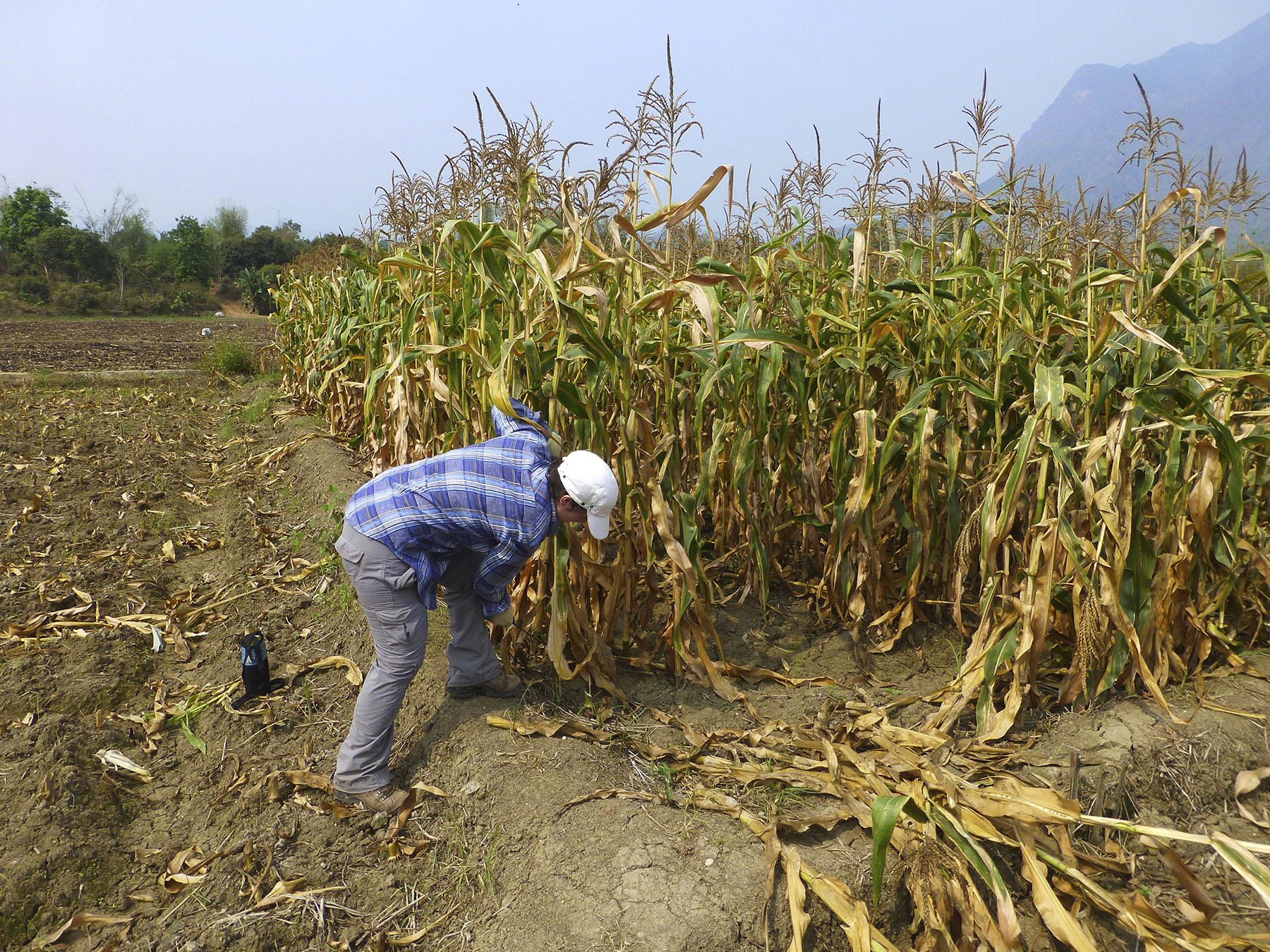 Cutting Corn Stalks