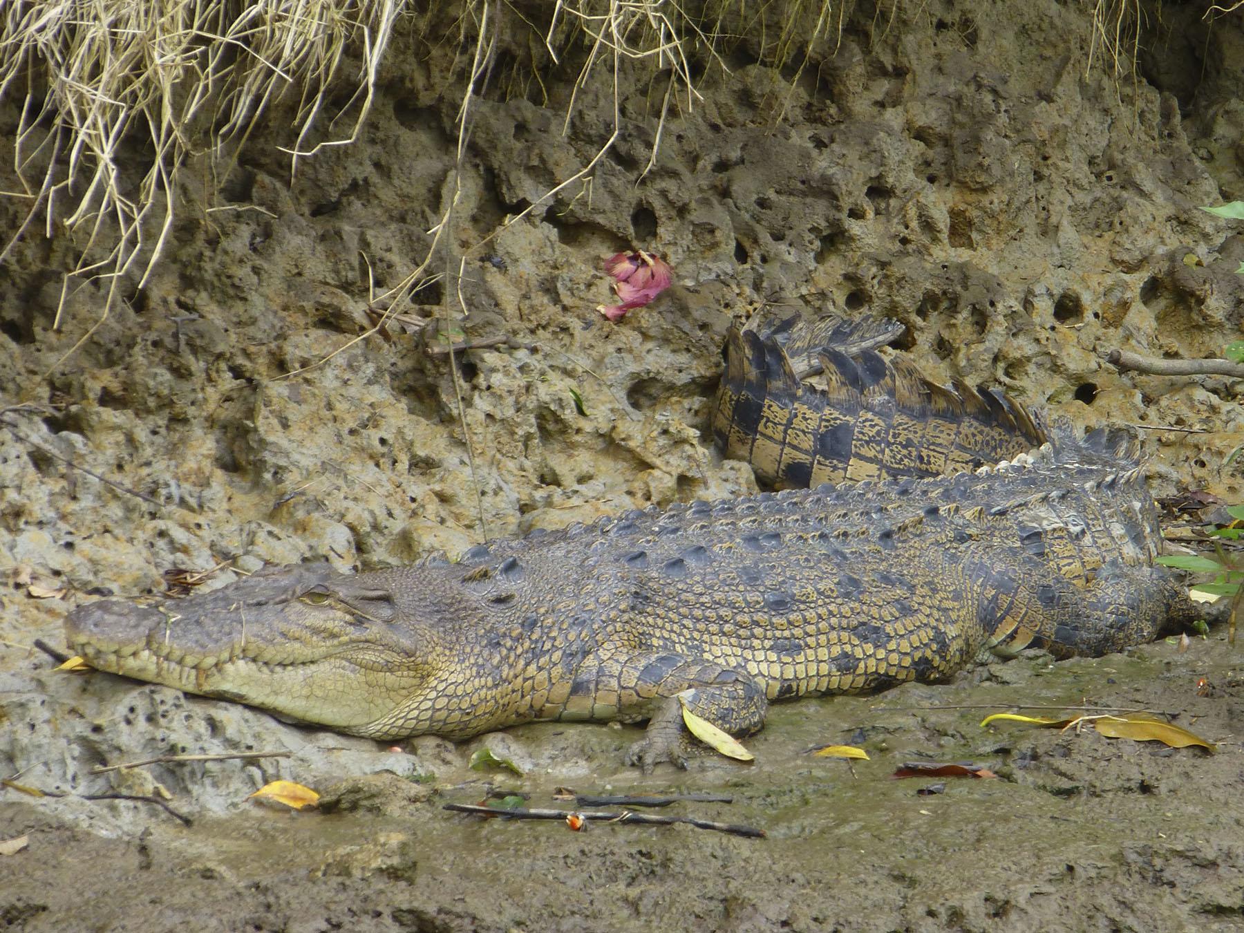 Scooter, The Adolescent Crocodile