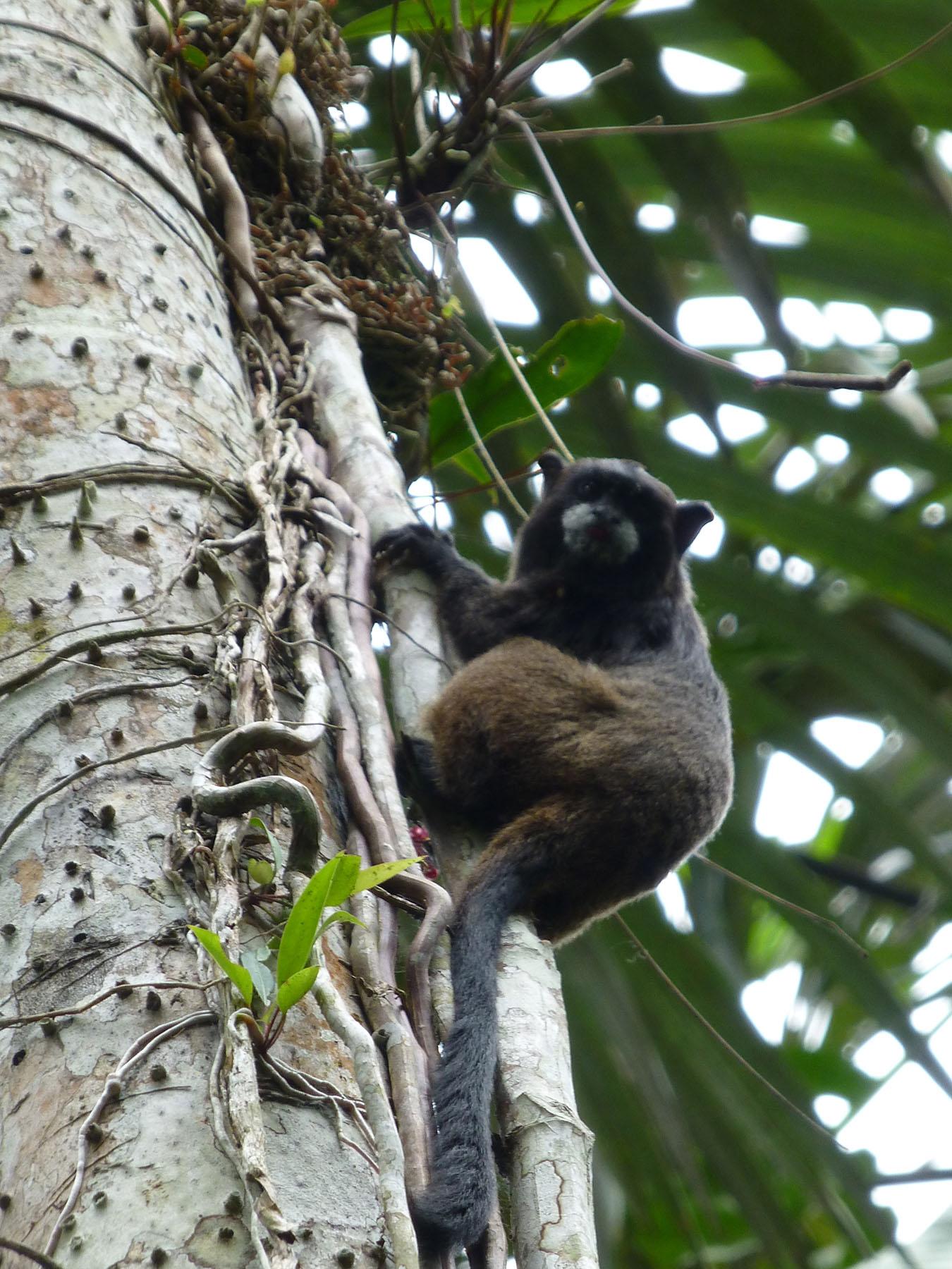 A black mantled tamarin monkey.