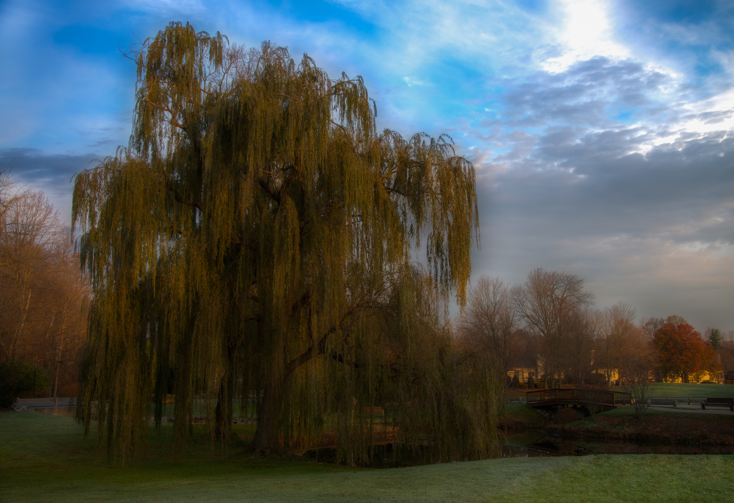 Early Morning Willow