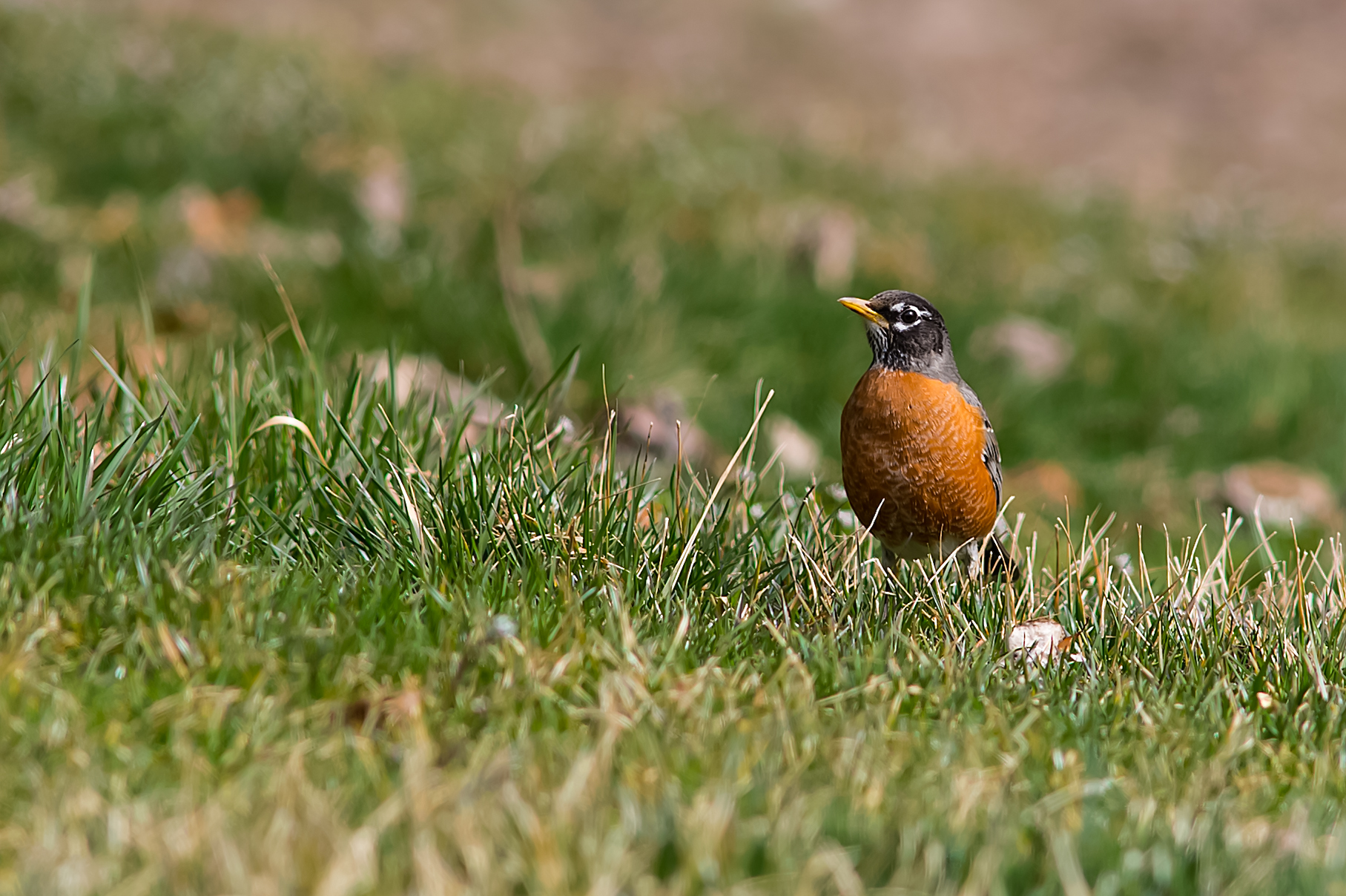 Spring Robin (1 of 1).jpg