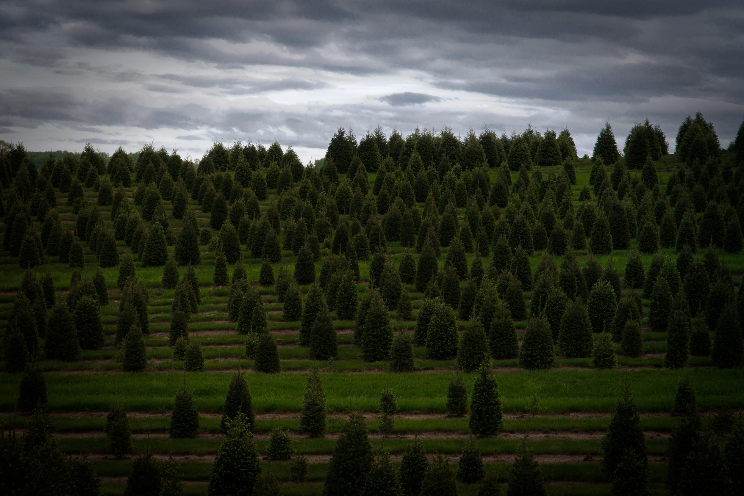 Christmass Tree Farm (1 of 1).jpg