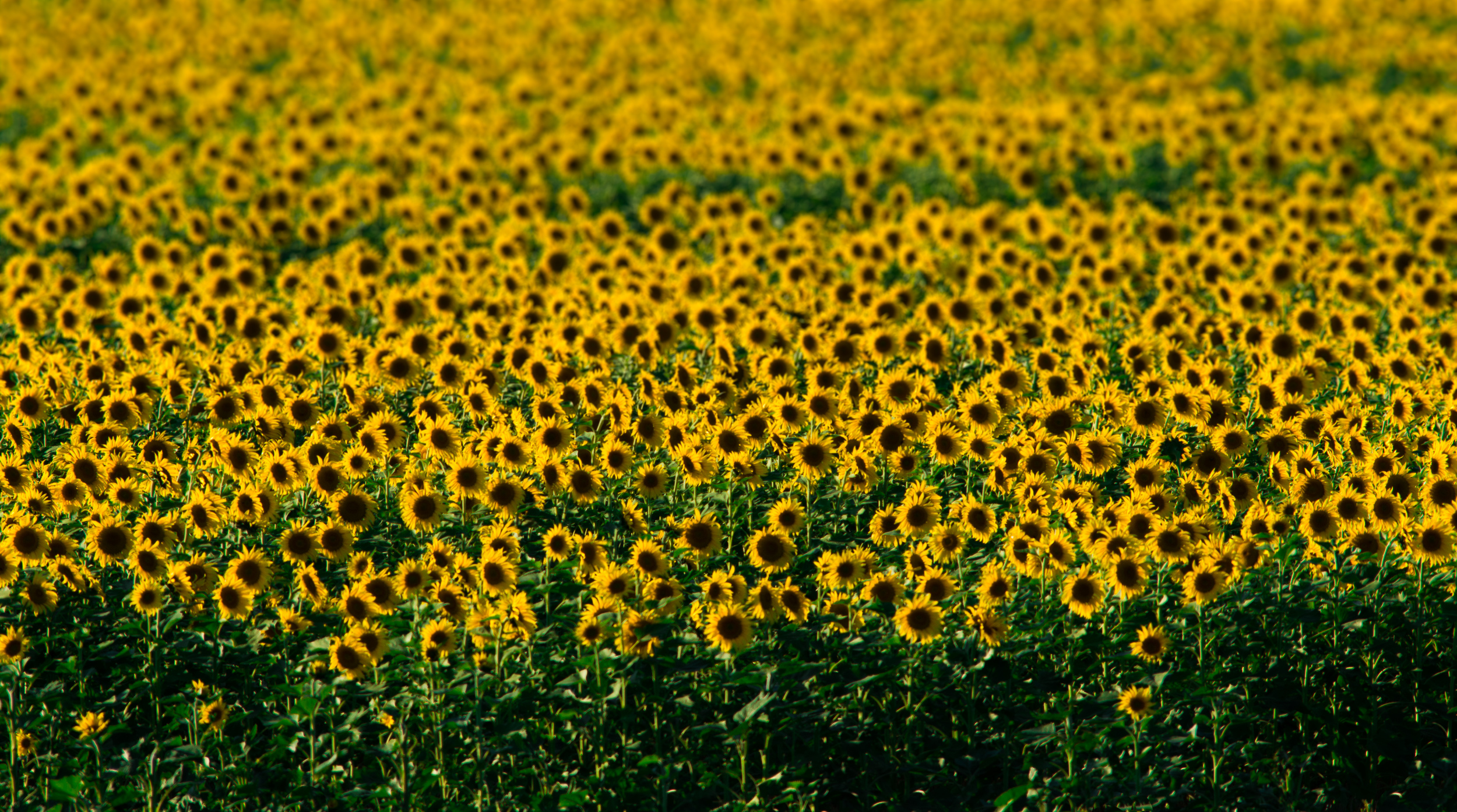 Field of Yellow (1 of 1).jpg
