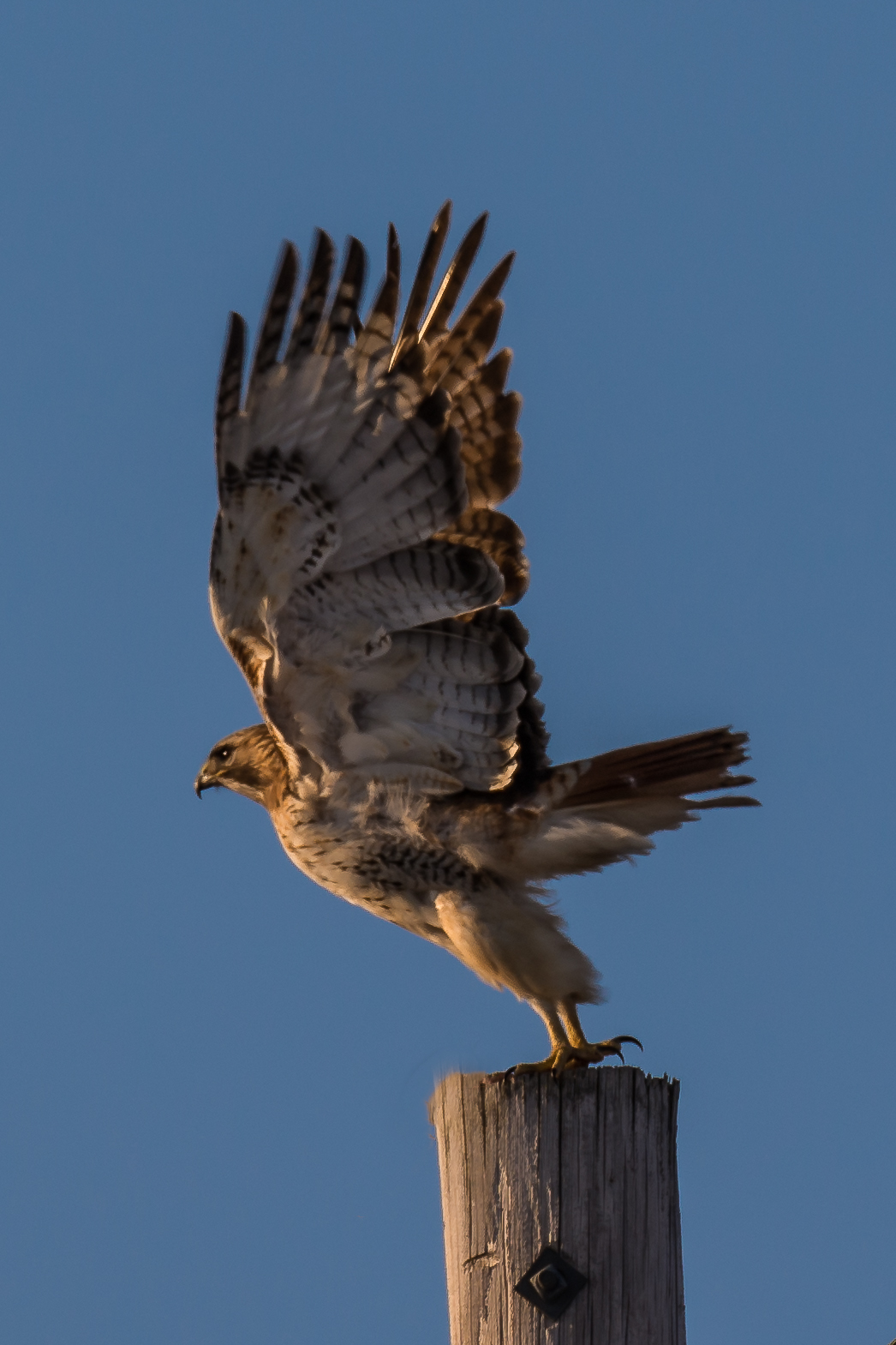 Red Tailed Hawk standing on telephone pole (1 of 1).jpg